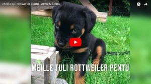 Read more about the article Meille tuli rottweiler pentu | Arttu & Alona