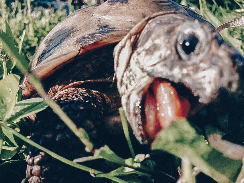 Kilpikonna Olga