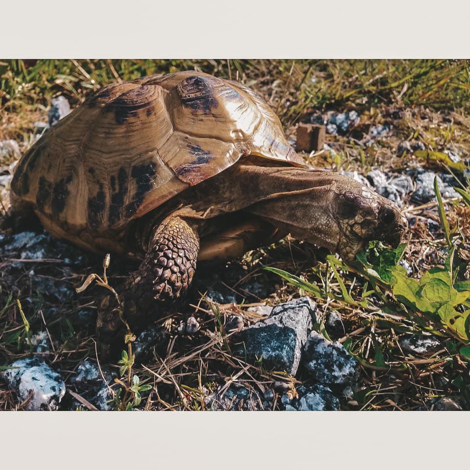 kilpikonna oogu